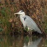 Grey Heron - Slimbridge WT - 2013