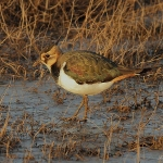 Lapwing - Cley NR - 2012