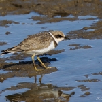 Little Ringed Plover - Titchwell NR - 2018