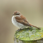 Red-backed Shrike - Everleigh -2012