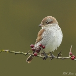 Red-backed Shrike - Everleigh - 2012