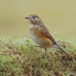 Red-flanked Bluetail - Marshfield - 2014