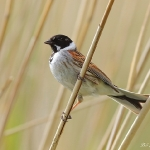 Reed Bunting - Droitwich - 2016