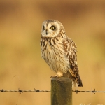 Short Eared Owl - Worlaby - 2012