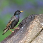 Starling - Alcester - 2010