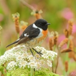 Stonechat - South Stack - 2011