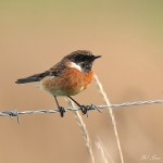 Stonechat - Cley NR - 2016