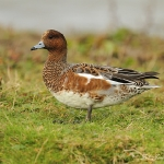 Wigeon - Cley NR - 2012